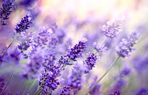Thư giãn với tinh dầu Lavender